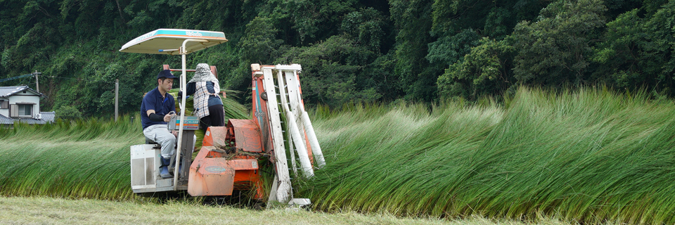 毎年梅雨の時期に生い茂る「い草」を収穫していきます